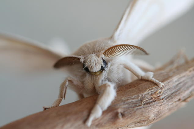 A silk moth. Timothy LeCain leads the workshop Wild Things: Objects, Environments, and the Ecology of Creativity at CAS Oslo.