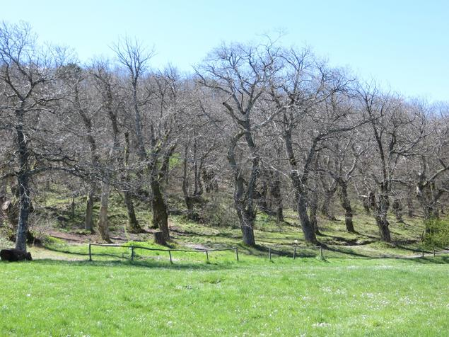 Cultivated Chestnut Forest on Santallago, Lucca, 2014.